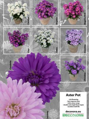 Leaflet-Aster-Pot