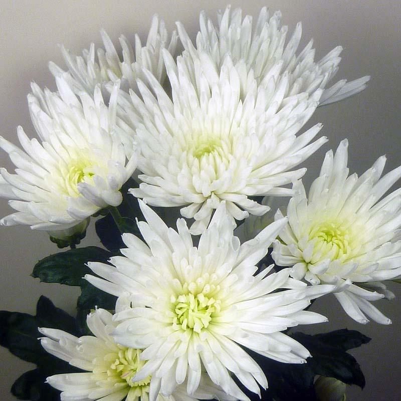 Anastasia® White