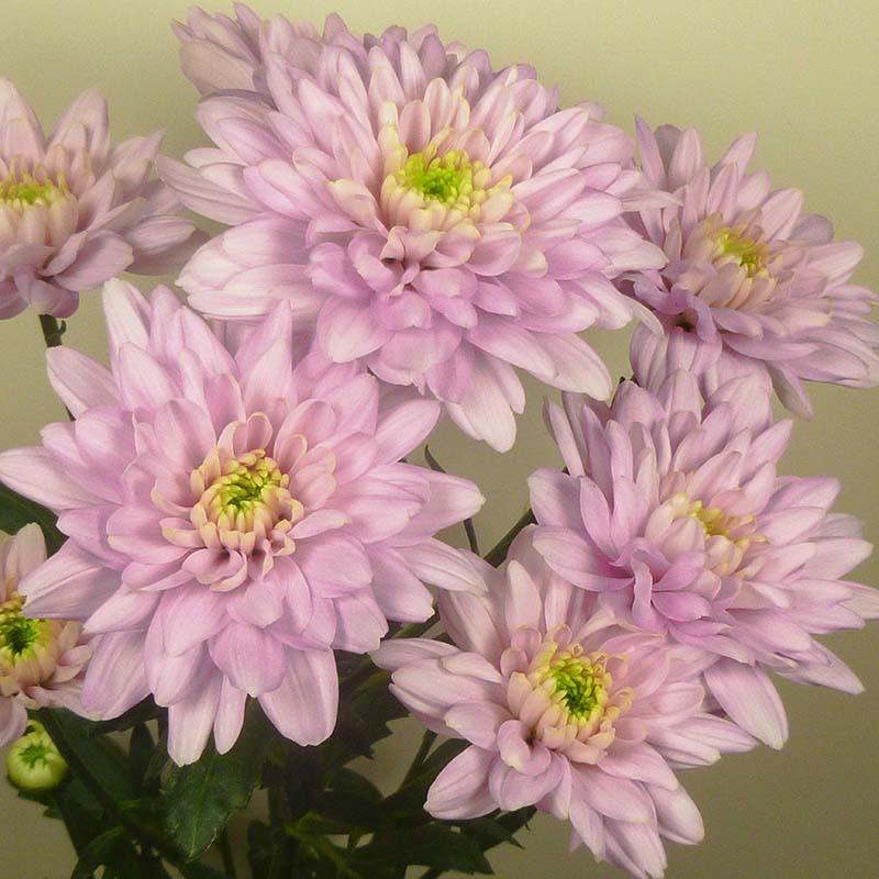 Baltica® Pink