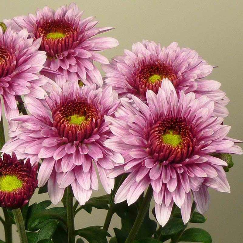 12 beppie pink