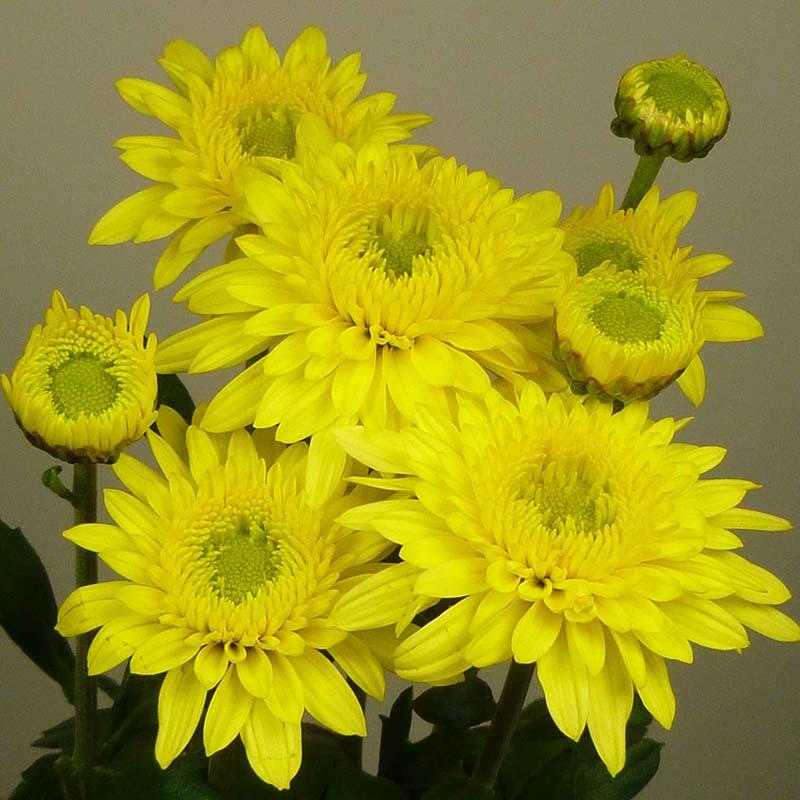 Beppie Yellow