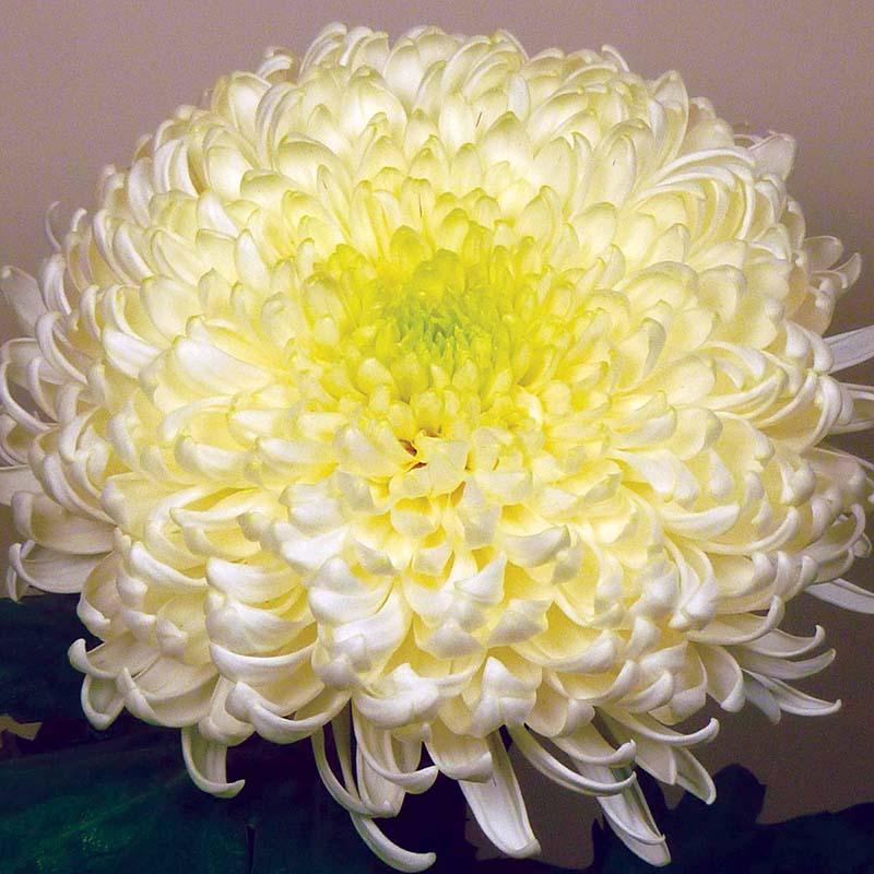 Bislet® White
