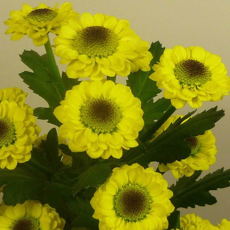 Black Molly® Yellow