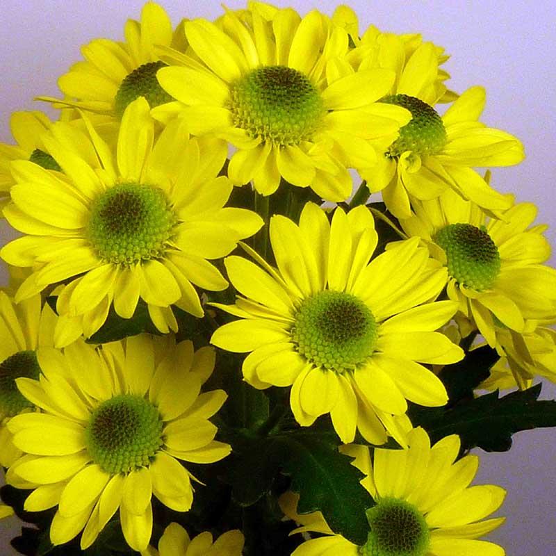 Blink Tamara ® Yellow