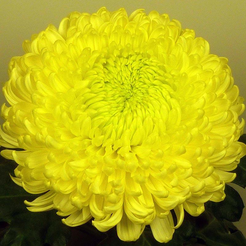 Cassandra Yellow