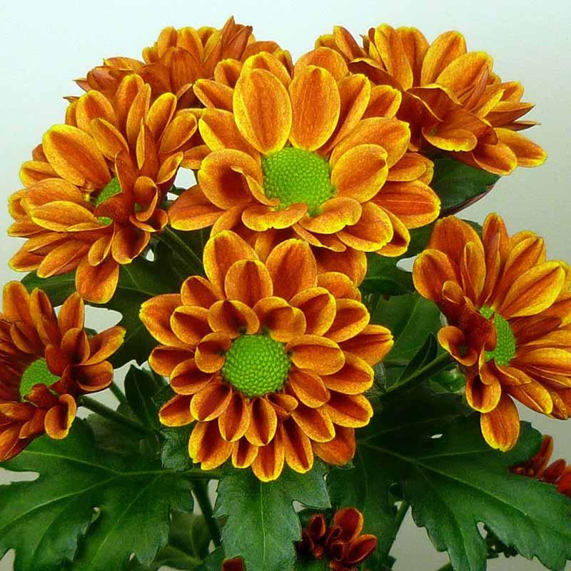 Charlotte® Orange
