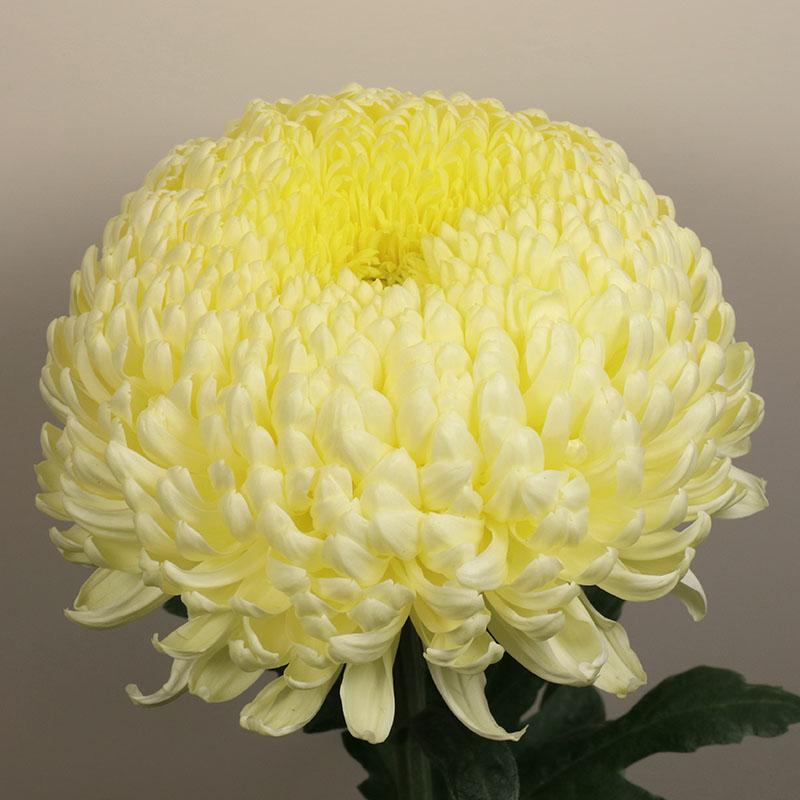 06 creamist white