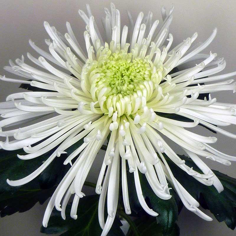 Elbrus® White (realsaturn)