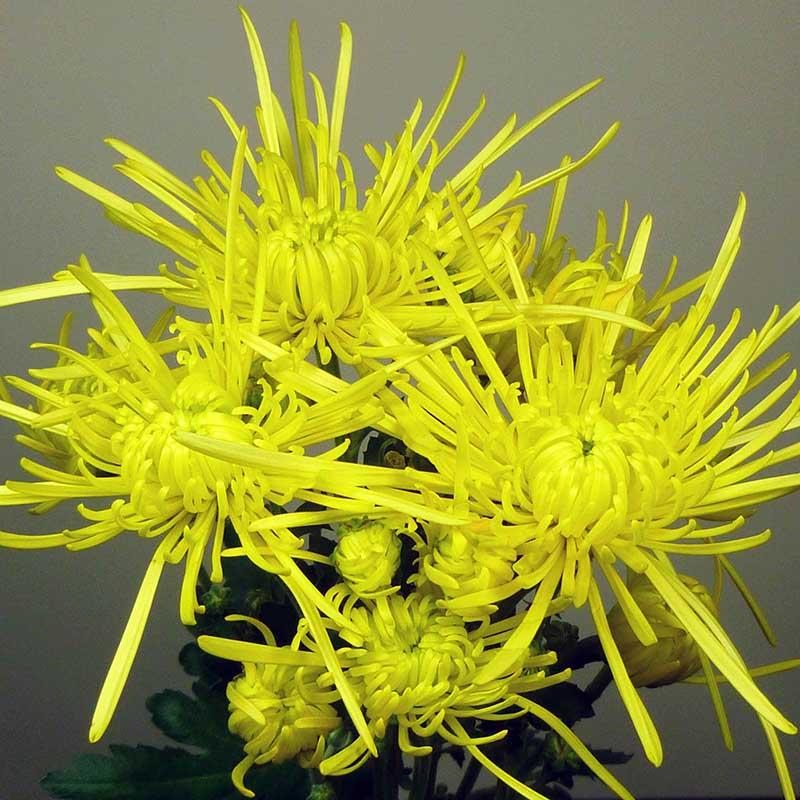 Elbrus® Yellow (realsaturn)