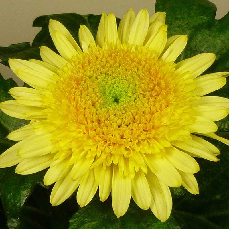 Eleonora® Yellow