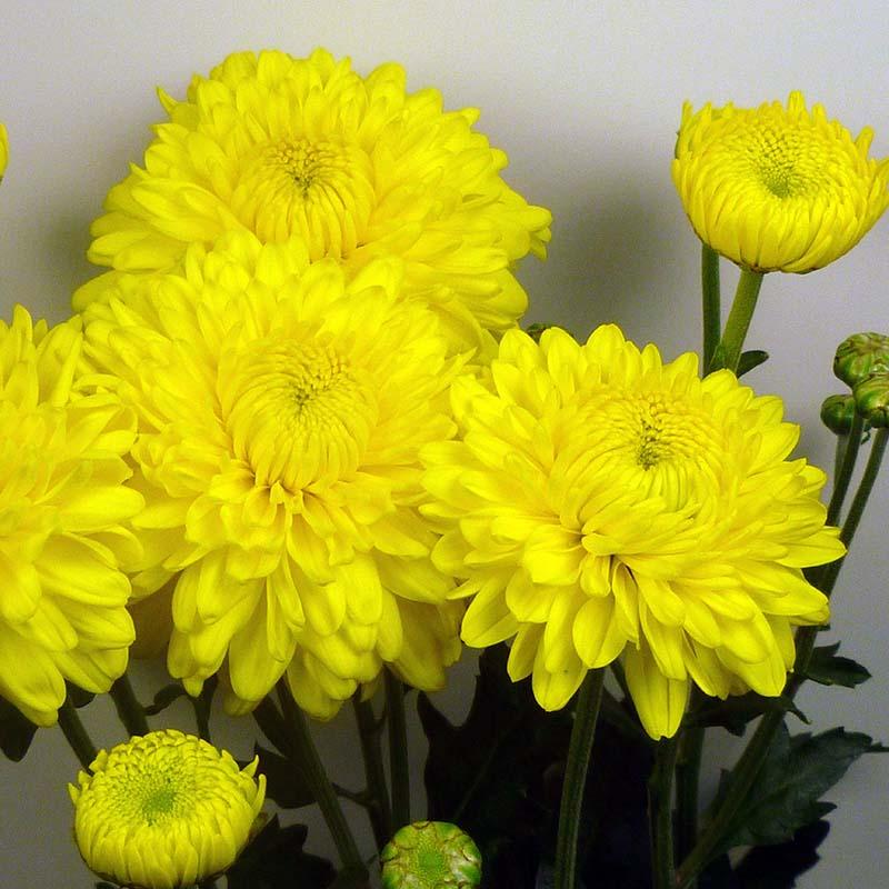 17 ellen yellow