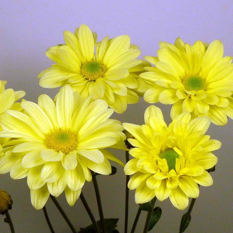 Enbee Wedding Yellow