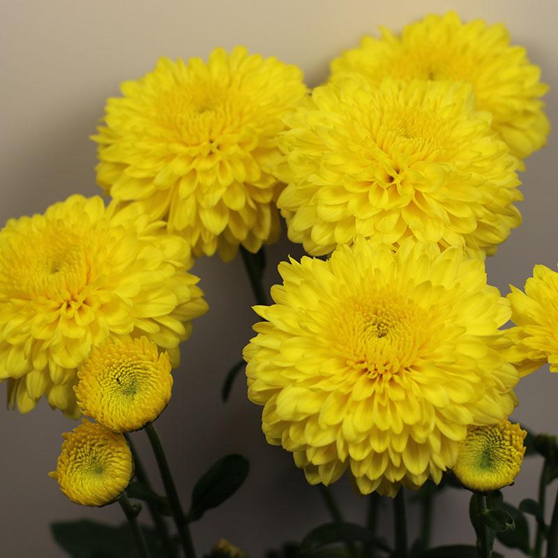 Heidi Yellow