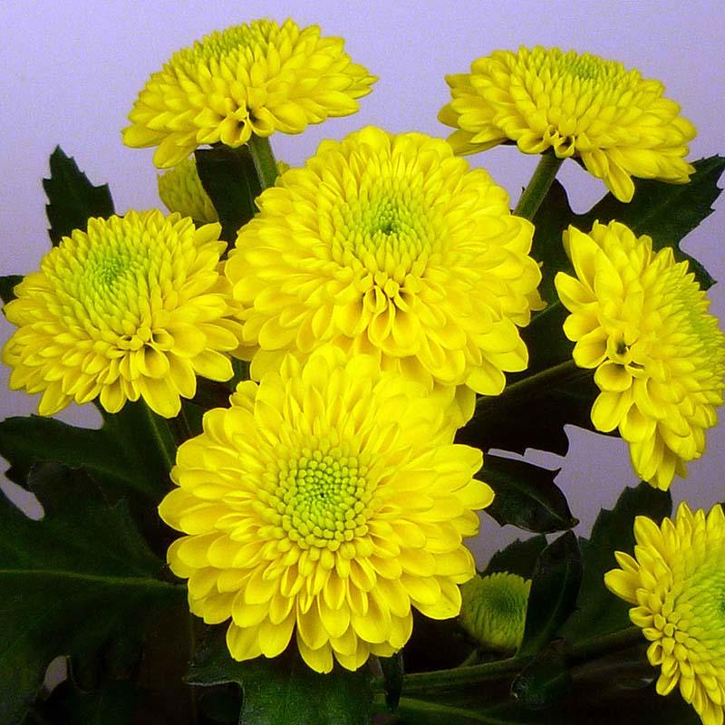 Hondo® Yellow