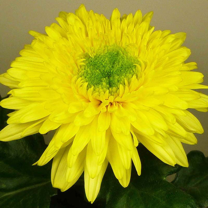 Inga® Yellow