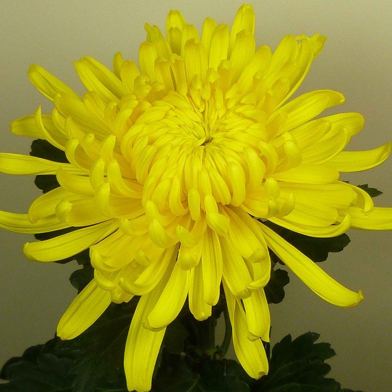 Lameet Yellow