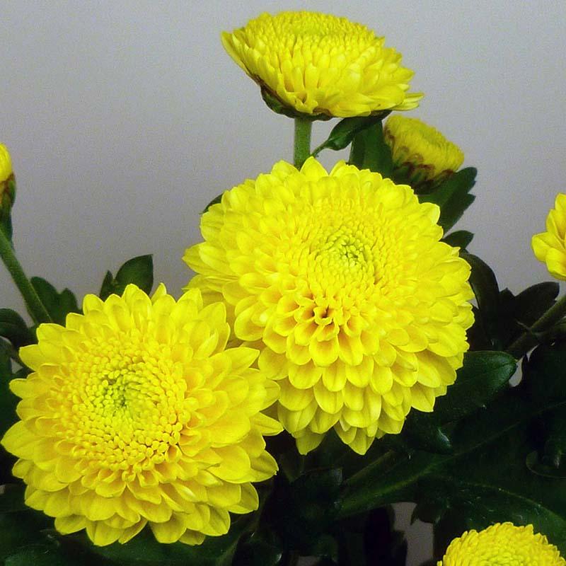 Minstreel Yellow