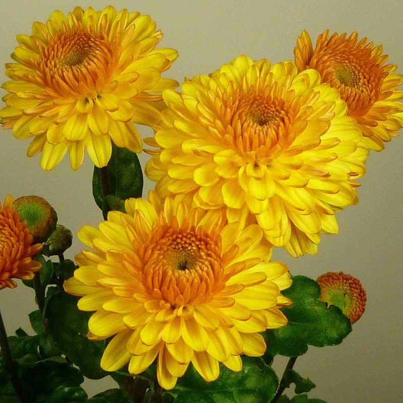 Pompon Yellow