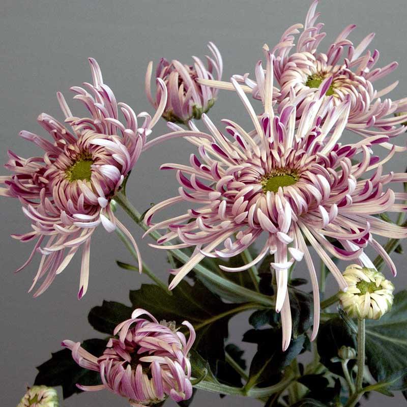 Saratov Lilac