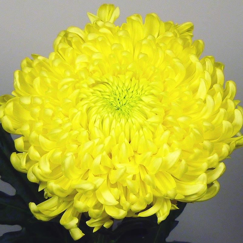 Snowdon Yellow