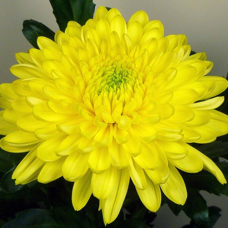Zembla® Yellow