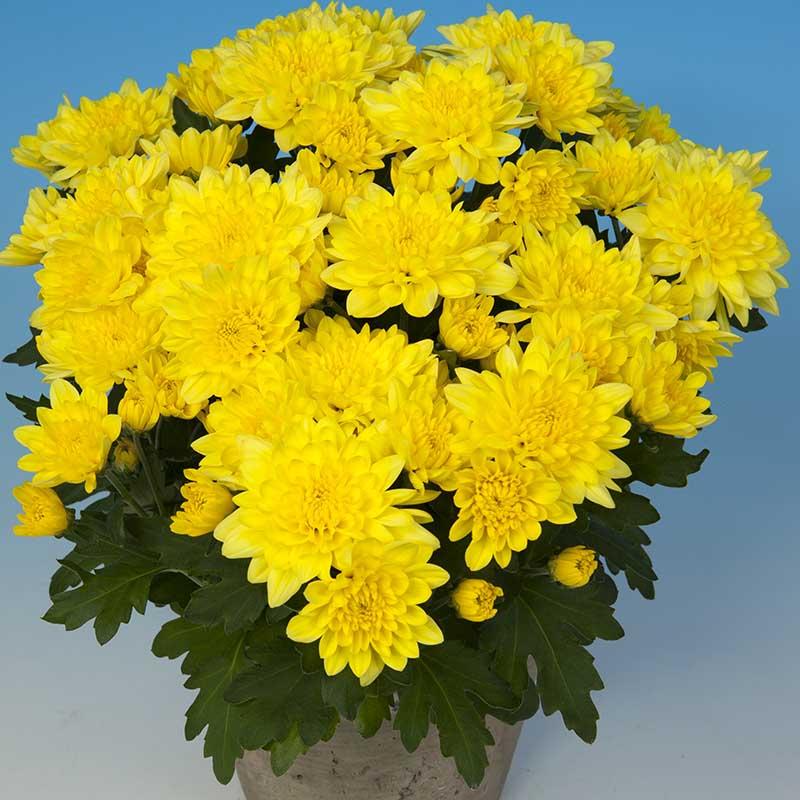 Zizinho® Yellow
