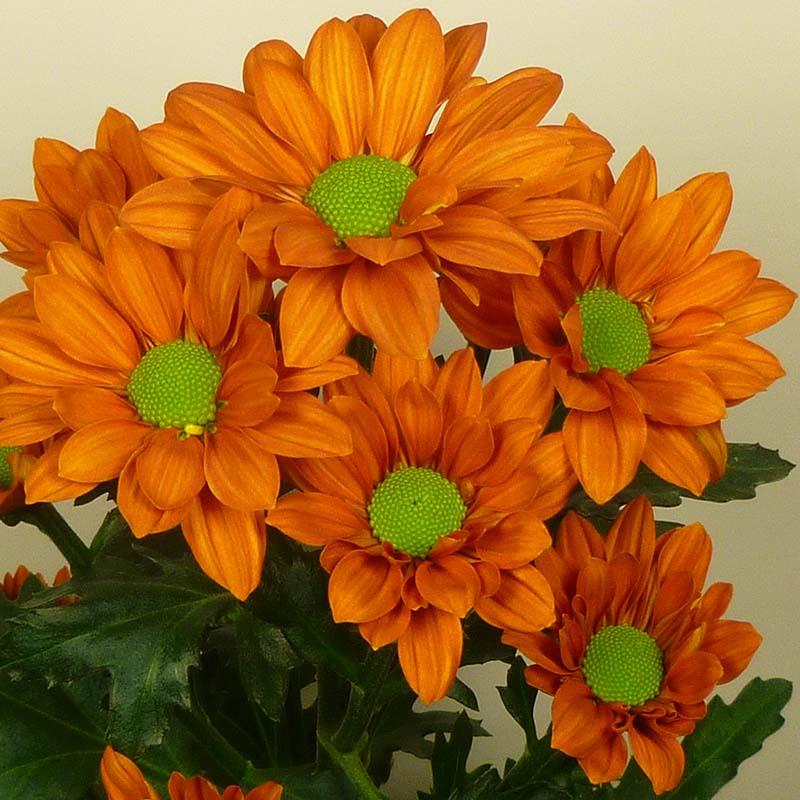 Marcato® Orange