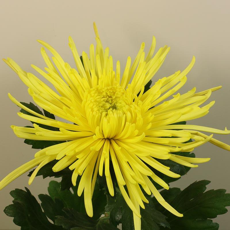 Spiro® Yellow