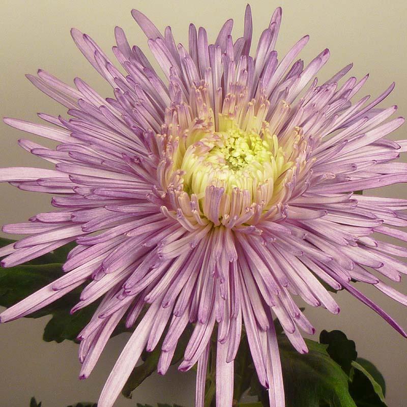 Uzuri® Purple