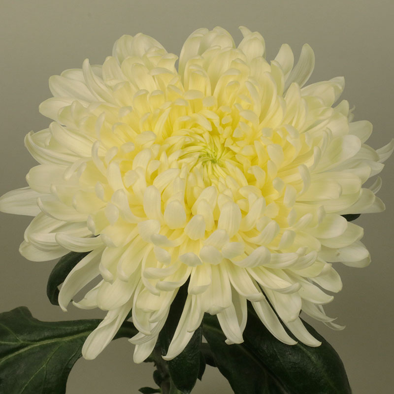 Allouise White