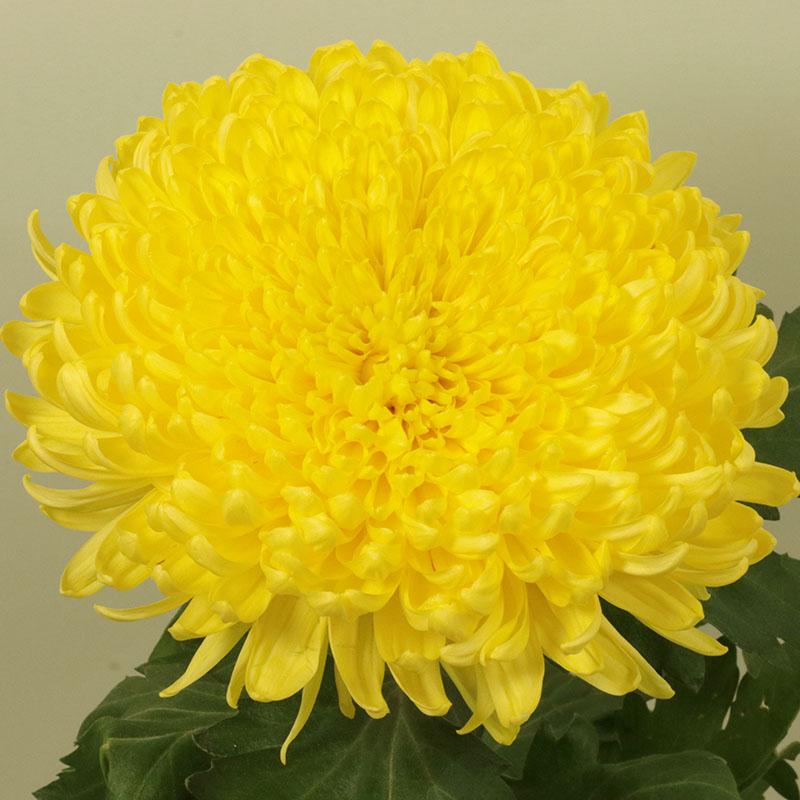 Bislet® Yellow