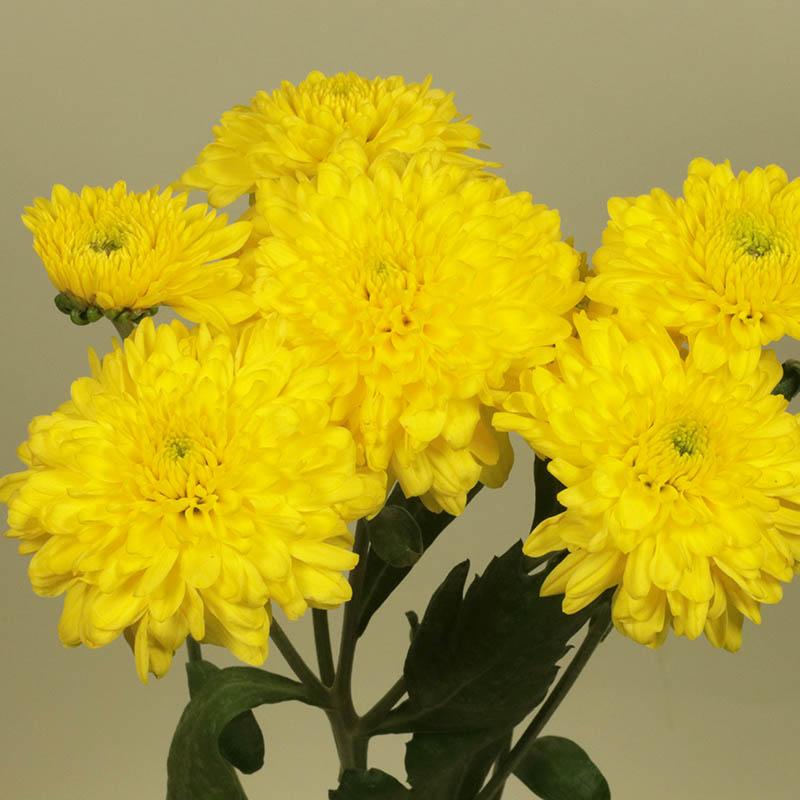 Lilian Hoek Yellow