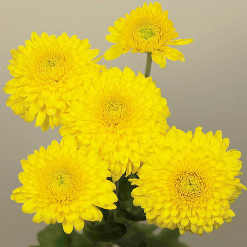 Littleton Yellow