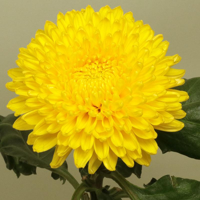 Migoli Yellow