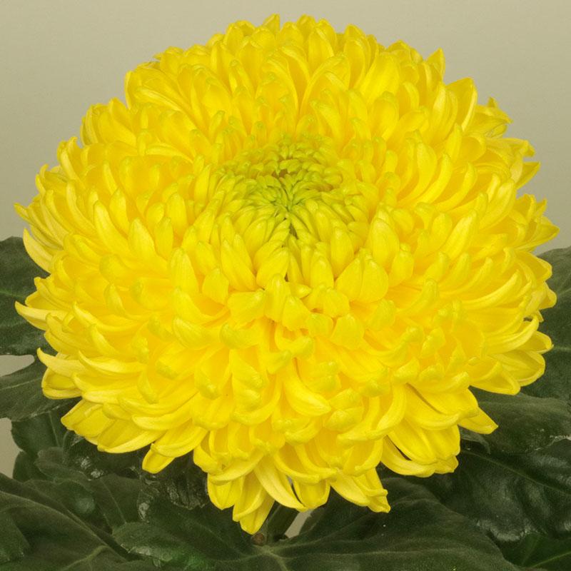 Pr. Armgard Yellow
