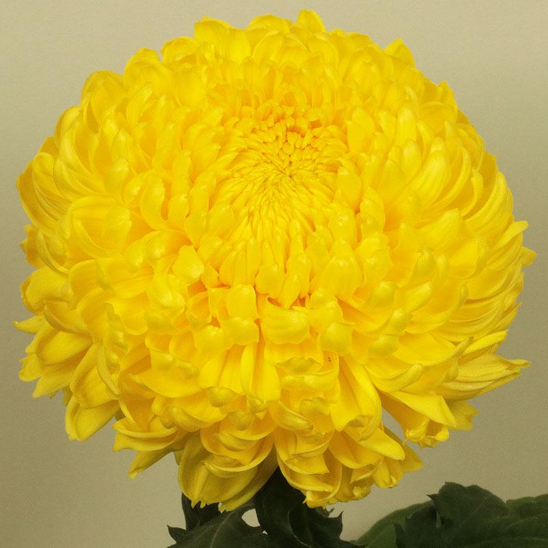 Riga® Yellow