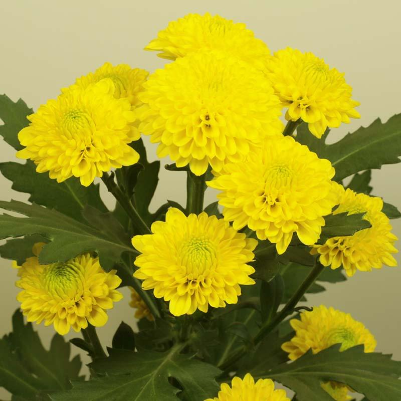Tessa® Yellow