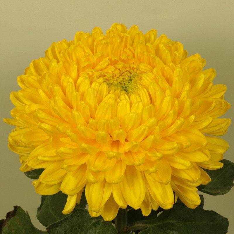 Victor Rowe Yellow