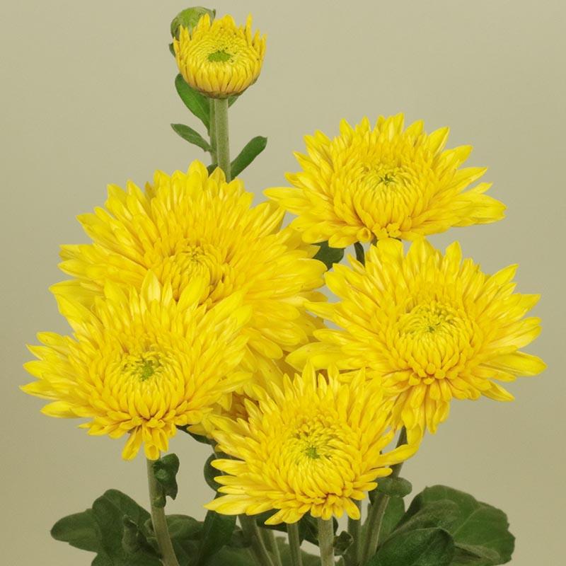 Blenda Yellow