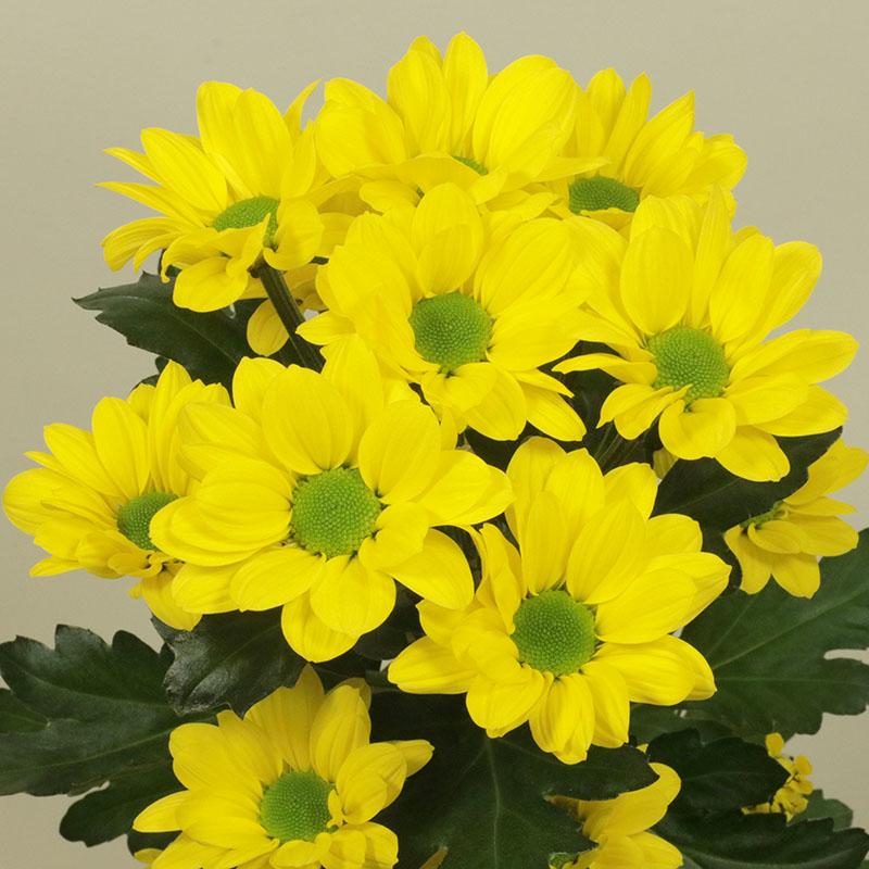 Copa® Yellow