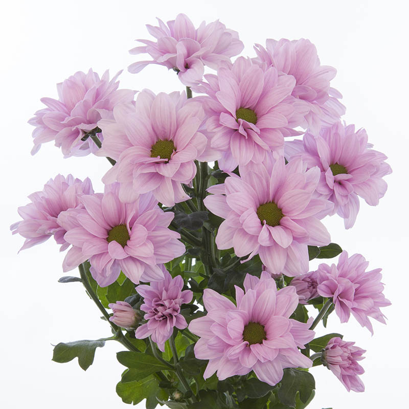 Hamilton® Pink