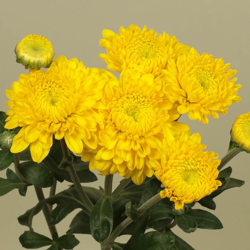 Katryna Yellow