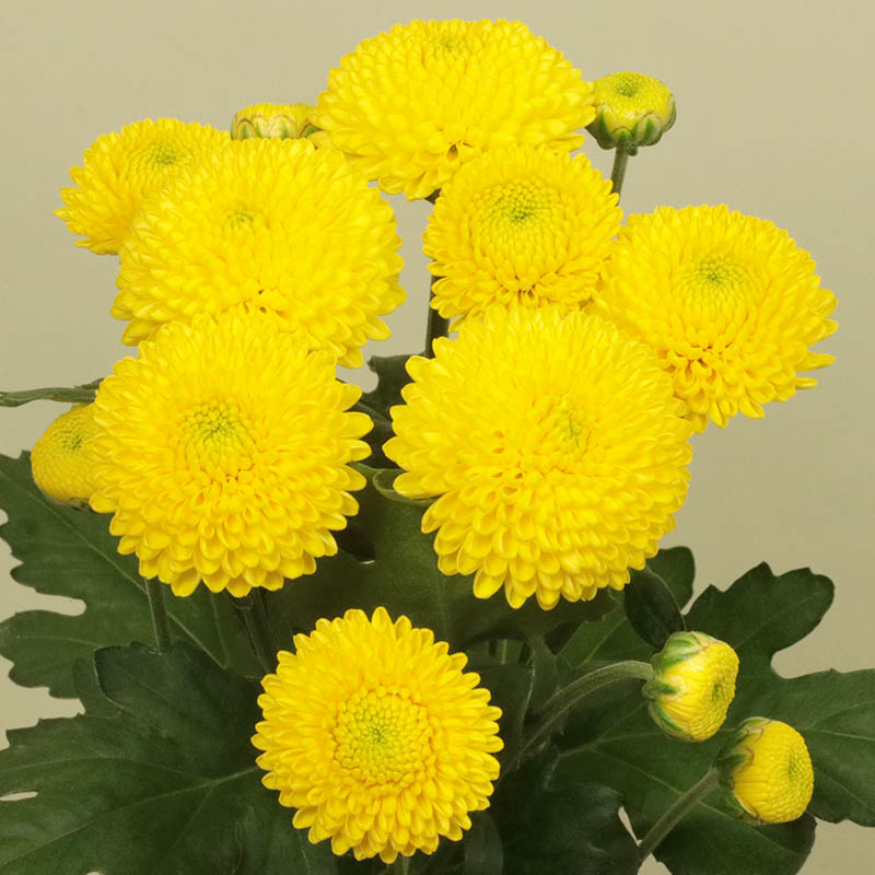 Limoncello® Yellow