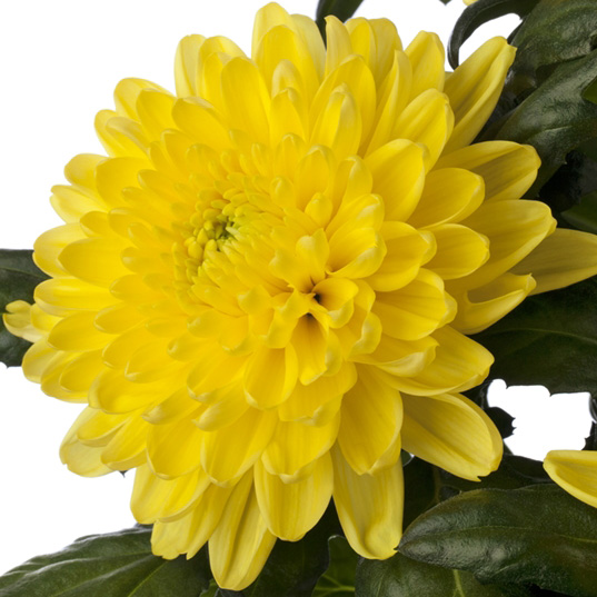 Rossano® Yellow