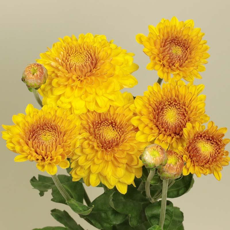 Wendy Yellow